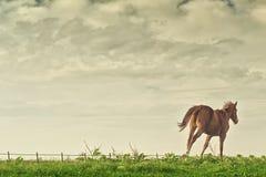 Beau fonctionnement de cheval de Brown de châtaigne image libre de droits