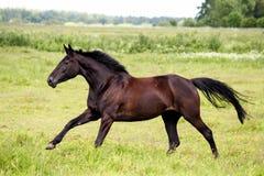 Beau fonctionnement de cheval foncé gratuit au pâturage Photos libres de droits