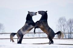 Beau fonctionnement de chevaux extérieur en hiver Photo libre de droits
