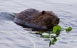 Beau fond avec un castor mangeant des feuilles dans le lac Images libres de droits