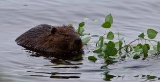 Beau fond avec un castor mangeant des feuilles dans le lac Photo libre de droits