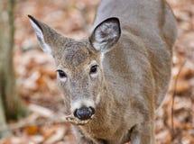 Beau fond avec un cerf commun sauvage mignon se tenant dans la forêt Image stock