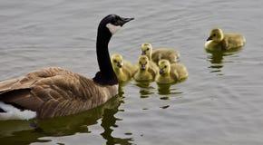 Beau fond avec une jeune famille des oies de Canada nageant Photos stock