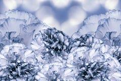 Beau fond blanc bleu floral Composition de fleur Carte de voeux pour les vacances avec les fleurs des oeillets Images stock