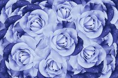Beau fond blanc bleu floral Composition de fleur des fleurs de roses Plan rapproché photos libres de droits