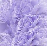 Beau fond blanc violet floral Composition de fleur Bouquet des fleurs des roses mauve-clair Plan rapproché photo libre de droits