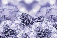 Beau fond blanc violet floral Composition de fleur Carte de voeux pour les vacances avec les fleurs des oeillets Photos libres de droits