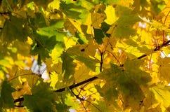 Beau fond d'automne avec des feuilles de vert et de jaune Image stock