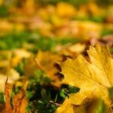 Beau fond d'automne avec les feuilles jaunes d'érable Photographie stock libre de droits