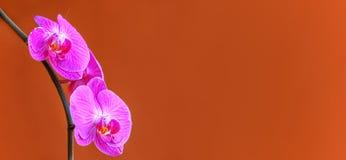 Beau fond d'orchidées de phalaenopsis ou de mite photo libre de droits