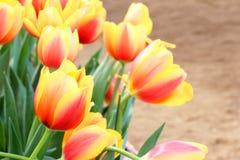 Beau fond de fleur de tulipes images libres de droits