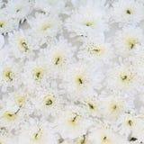 Beau fond de fleurs blanches Images libres de droits