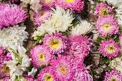Beau fond de fleurs roses et blanches Fleurs d'aster dessus Photographie stock libre de droits