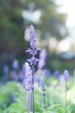 Beau fond de Violet Lavender Flowers For Nature de bouquet Images libres de droits