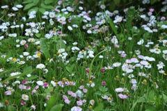 Beau fond floral avec des marguerites Photographie stock