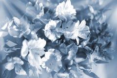Beau fond floral dans les couleurs douces bleu-clair et blanches, fleurs de lis en plan rapproché de rayons du soleil images stock