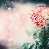 Beau fond floral de nature avec l'éclairage rouge peu commun de rose et de bokeh de jaune Photographie stock