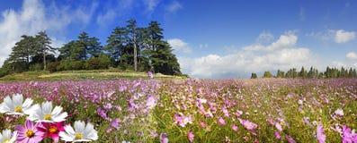 Beau fond grand-angulaire de fleur Le papier peint floral panoramique avec les fleurs roses de chrysanthème se ferment  image stock
