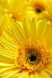 Beau fond lumineux des fleurs jaunes Photos stock