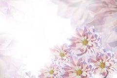 Beau fond rose-blanc-violet floral Composition de fleur Carte de voeux pour les vacances des fleurs des dahlias Photo libre de droits