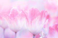 Beau fond rose de tulipes Images stock