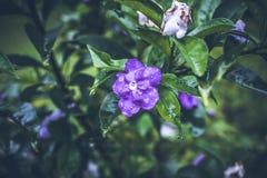 Beau fond tropical de fleur sur l'île de Bali, Indonésie Fermez-vous vers le haut des fleurs Image libre de droits