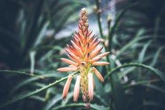 Beau fond tropical de fleur sur l'île de Bali, Indonésie Fermez-vous vers le haut des fleurs Photo libre de droits