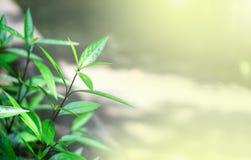 Beau fond vert brouill? de feuilles dans le jardin avec l'espace d'effet de la lumi?re et de copie de fus?e, utilisation pour les image libre de droits