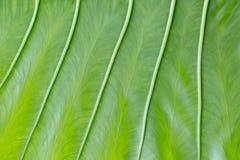 Beau fond vert de feuille avec les veines épaisses verticales Structure lumineuse inégale de texture et de feuilles Surface de te image libre de droits