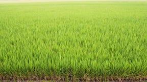 Beau fond vert de gisement de riz Images libres de droits