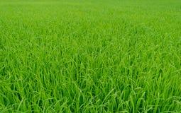 Beau fond vert de gisement de riz non-décortiqué Images stock