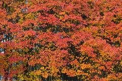 Beau fond vibrant d'arbres de feuillage de couleur d'automne images libres de droits
