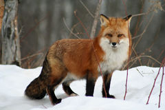 Beau Fox rouge dans la neige photos stock