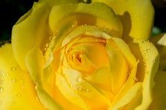 Beau frais coloré de floraison s'est levé avec la rosée sur des pétales images stock