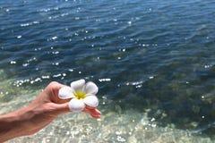 Beau frangipani de fleur Photographie stock