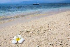 Beau frangipani de fleur Photos stock