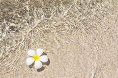 Beau frangipani de fleur Photo stock