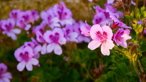 Beau géranium de fleur à la lumière du soleil Images libres de droits