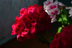 Beau g?ranium lumineux de fleur dans un pot image libre de droits