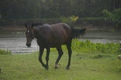 Beau galoper brun de cheval Photographie stock libre de droits