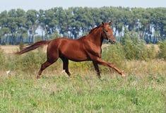 Beau galoper de cheval de châtaigne photographie stock libre de droits