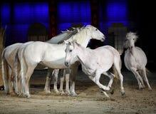 Beau galoper de chevaux de lusitano Images libres de droits
