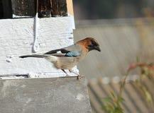 Beau geai d'oiseau Photographie stock libre de droits