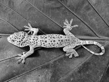 Beau gecko de Tokay, été perché sur les feuilles image stock