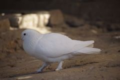 Beau gentil blanc d'oiseau image stock