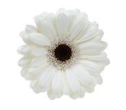 Beau gerbera blanc Photographie stock libre de droits