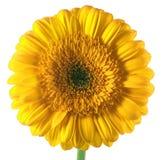 Beau gerbera jaune images libres de droits