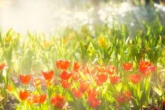 Beau gisement de fleur rouge de tulipes pendant le matin Photo libre de droits