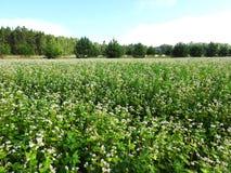 Beau gisement de fleurs blanc de sarrasin, Lithuanie Images libres de droits