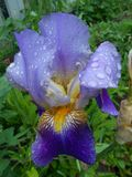 Beau gisement de pluie de fleur d'iris photographie stock libre de droits
